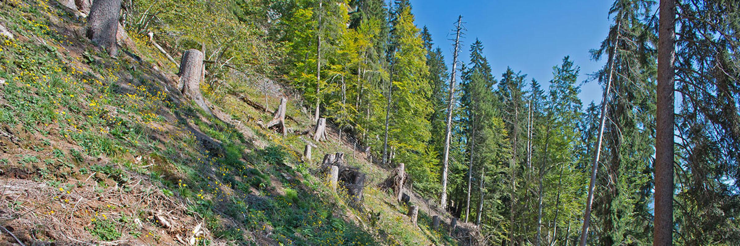 Ausgeholzte Verjüngungsschneise im Schutzwald